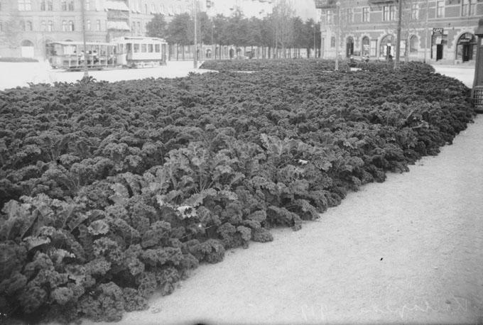Kålodling istället för blomsterrabatter på Karlaplan under första världskrigets nödår 1917. Foto av Axel Malmström, Stockholms Stadsmuseum.